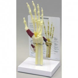 Model Hand and Wrist