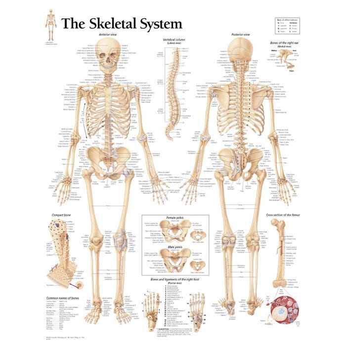 human skeleton model with skeletal system chart