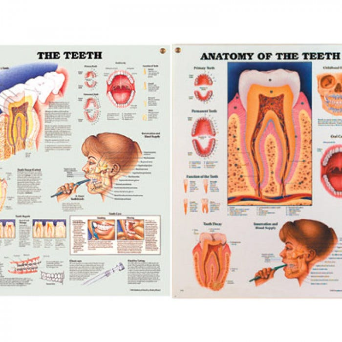 Anatomy Of The Teeth Chart