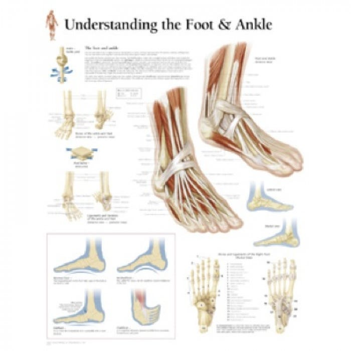 Peter Bachin    Anatomical       Chart       Foot    and    Ankle